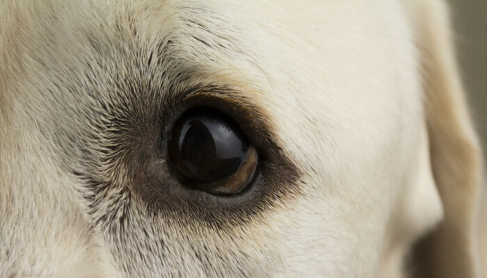 Symptoms of blindness in dogs