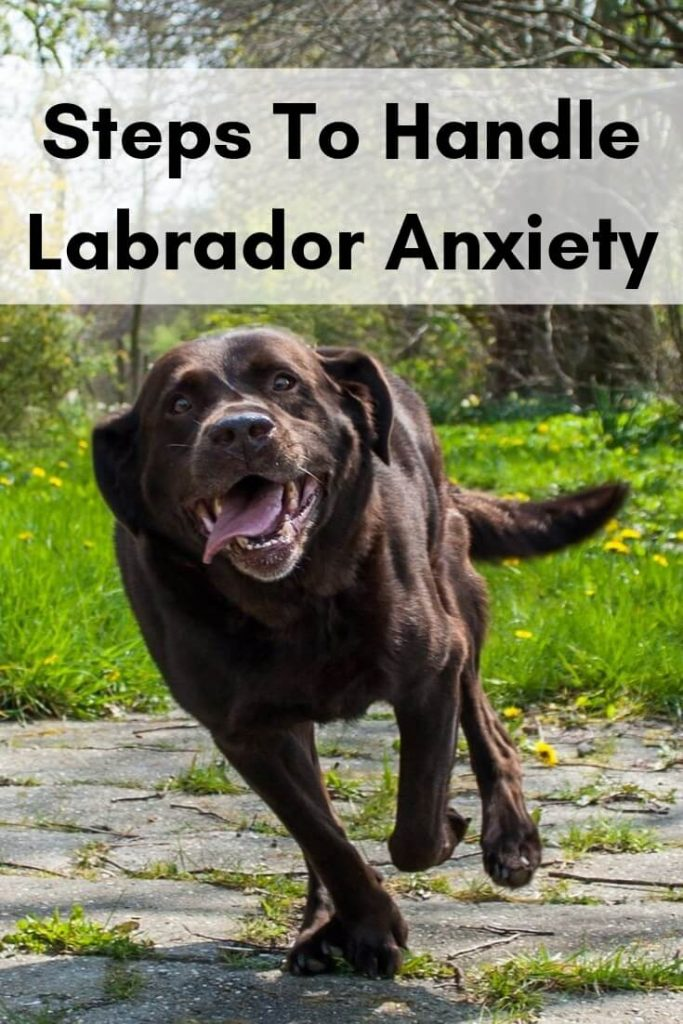 Labrador anxiety- Proven steps to handle it