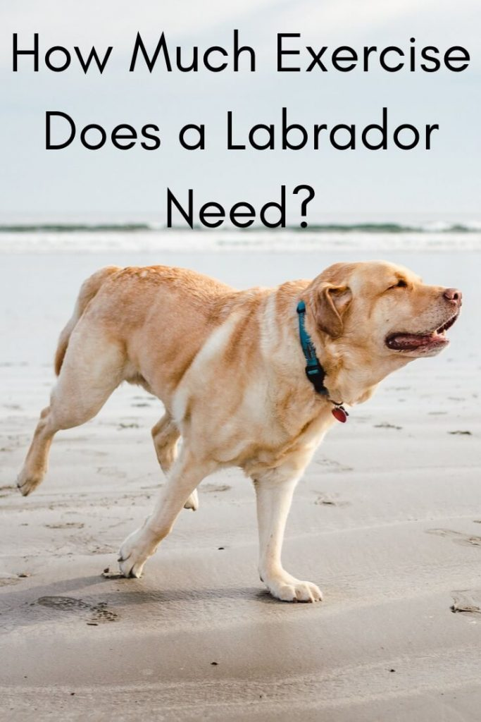 How much Exercise does a Labrador need?