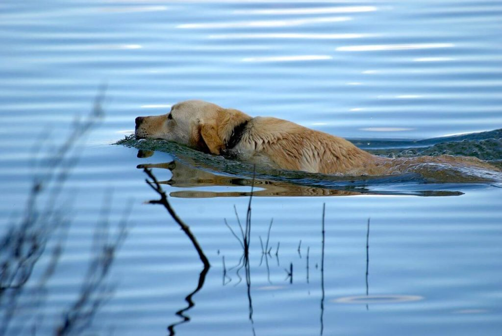How much Exercise does a Labrador need,How much exercise does an elderly Labrador need