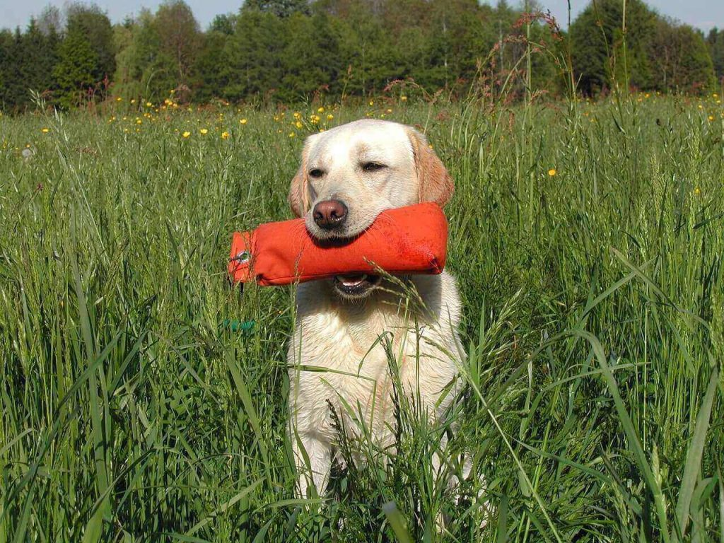 Labrador training tips