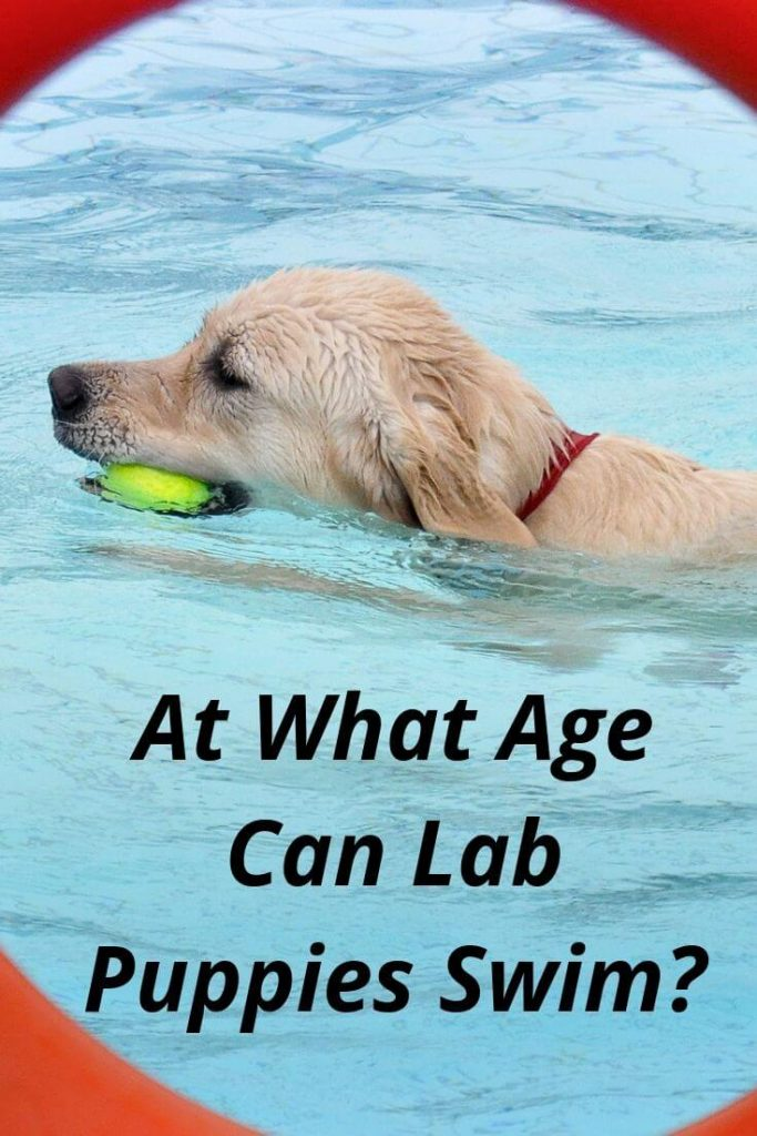 At what age can Lab puppies swim- Train your lab to swim