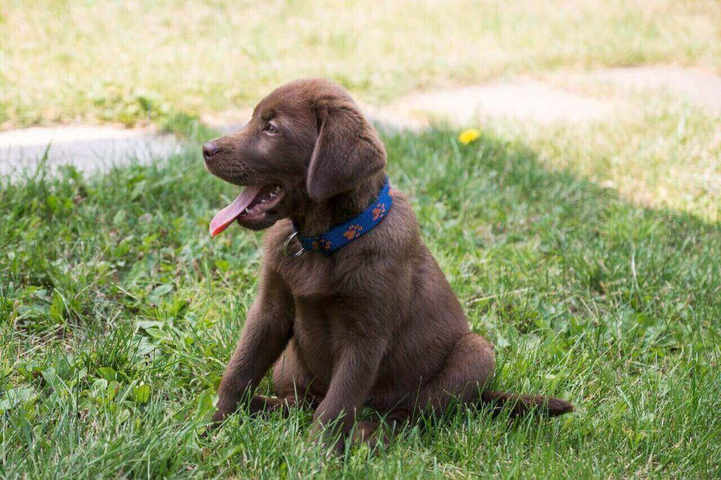 Chocolate Lab With White Spot On Tail