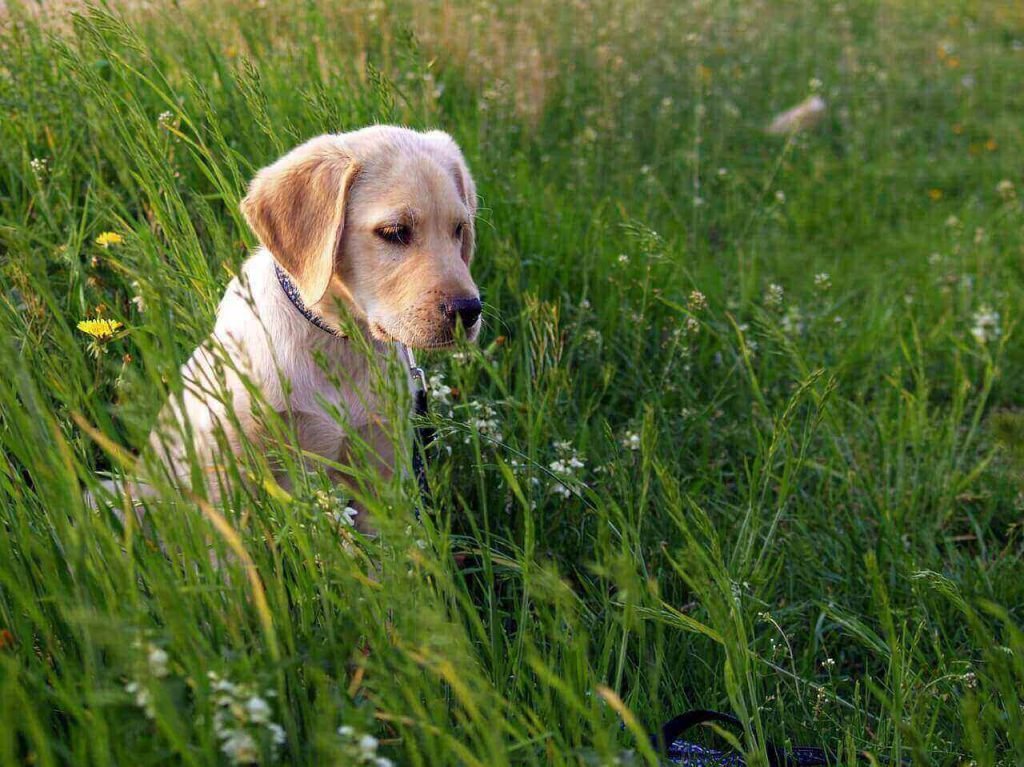 Are Labs Hypoallergenic?