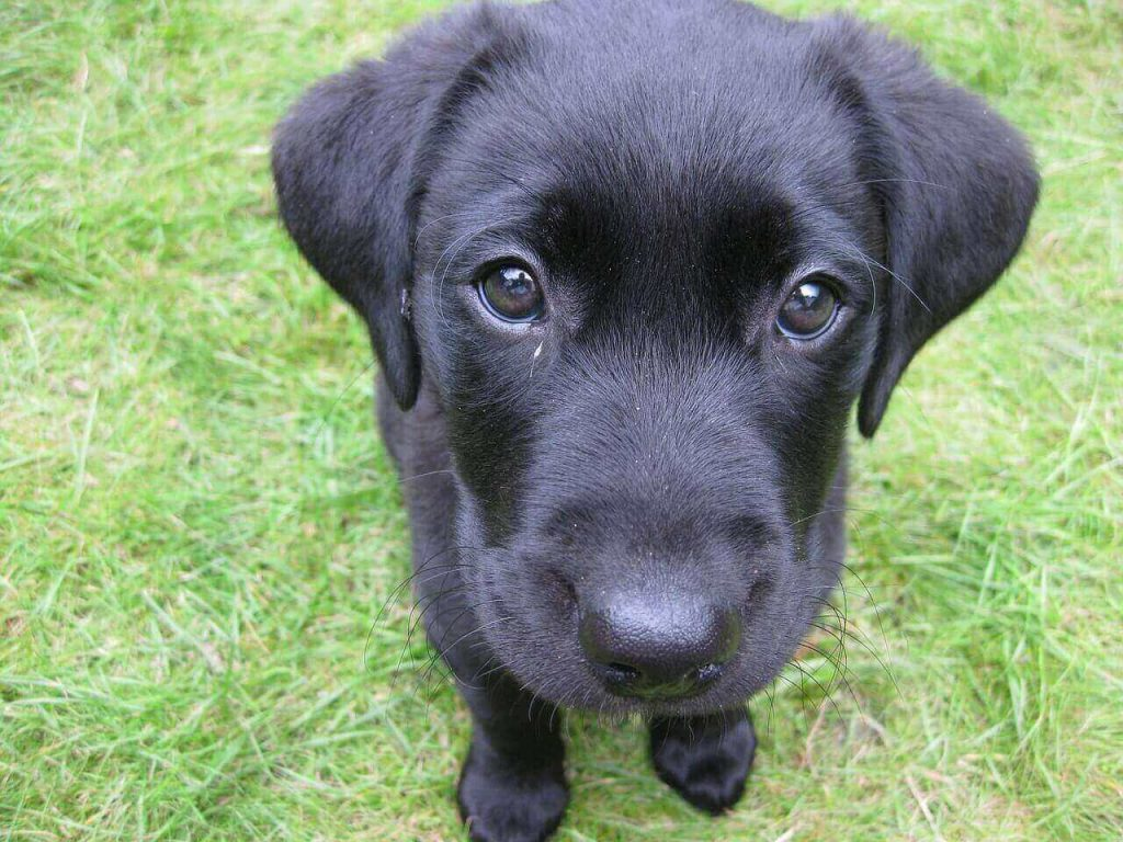 Top 25 Black Lab Names – For Your Black Labrador