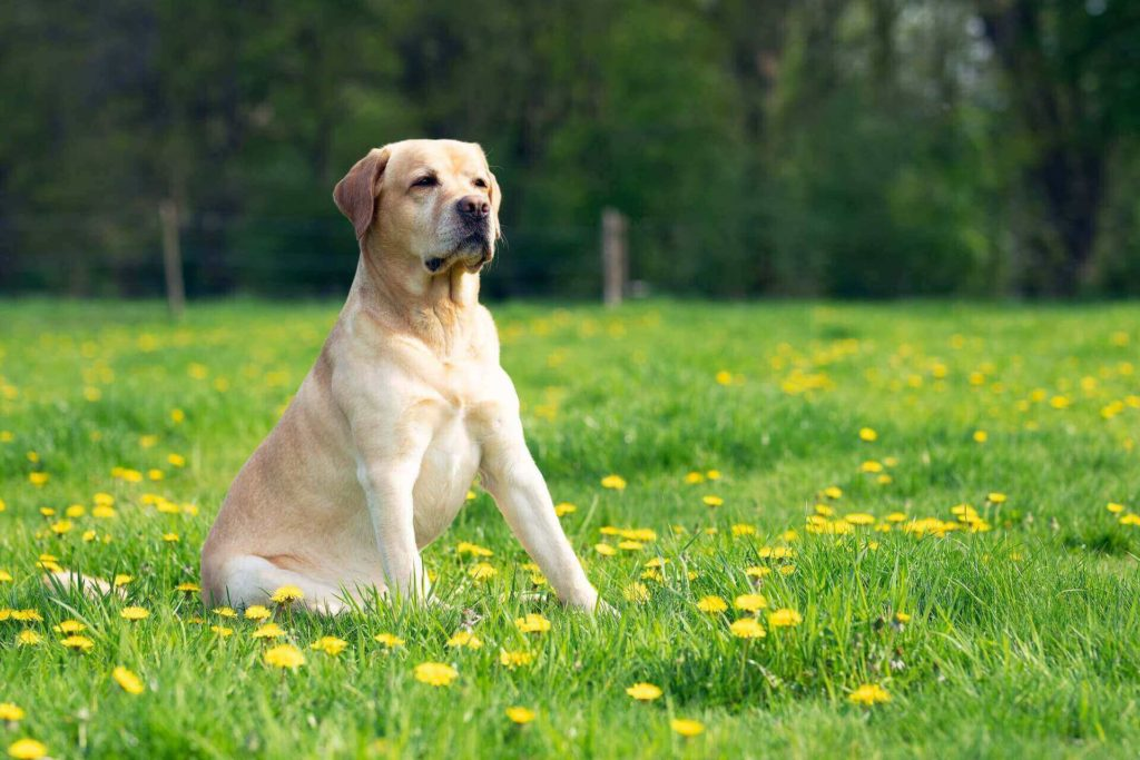 Do Labs Shed?- Top 5 Labrador Shedding Solutions